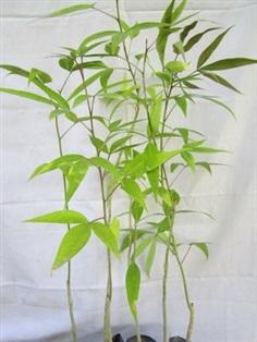 ต้นผักกุ่ม