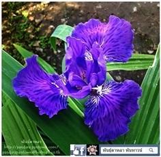 Iris Japanese Roof