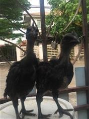 ลูกไก่ดำอินโดสายพันธุ์แท้ อายุ 1 เดือนกว่า