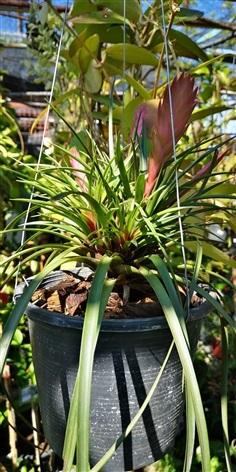 สับประรดสี Tillandsia cyanea