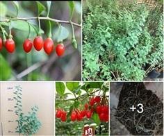 ต้นเก๋ากี้สีแดง ใบกลม สายพันธุ์ออกลูกง่าย