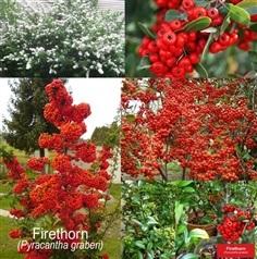 โปรลดราคาพิเศษลดสุดๆ Firethorn (Pyracantha graberi)