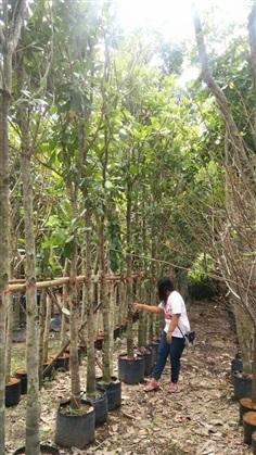 ขายต้นมะม่วงหิมพานต์ 4 นิ้ว 4.5 เมตร