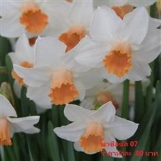 ดอกดารารัตน์ kaydee