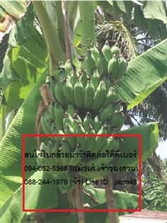 ใบตอง กล้วยน้ำว่าพันธ์ไทย
