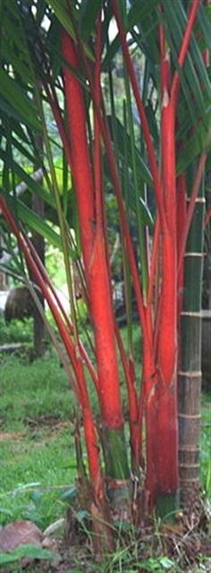 ขายเมล็ดหมากแดง Lipstick Palm
