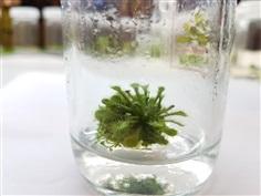 พืชกินแมลง หยาดน้ำค้าง Drosera spatulata