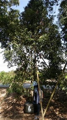 ขาย ต้นบุนนาค 6 นิ้ว 6 เมตร
