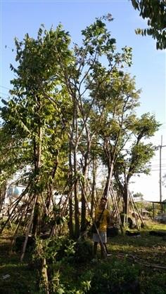ขายต้นจิกน้ำ กอ 3 ลำต้น สูง 5.5 เมตร