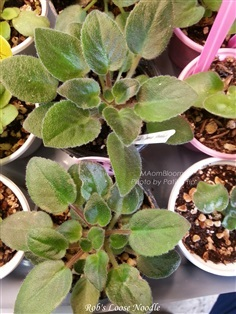 African violet : Rob's Loose Noodle