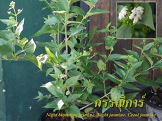 กรรณิการ์ Night blooming jasmine, Night jasmine, Coral jasmi