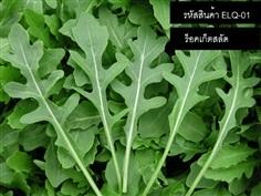 จำหน่ายเมล็ดพันธุ์ผักสลัดร็อคเก็ต - Rocket Salad