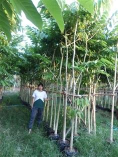 ขายไม้ล้อม ต้นอินทนิลน้ำ 2-3 นิ้ว สูง 3-4 เมตร