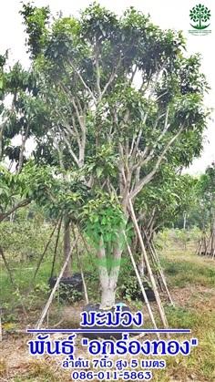ขายต้นมะม่วงอกร่องทอง ลำต้น7นิ้วสูง5เมตร