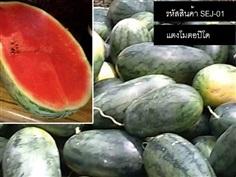 จำหน่ายเมล็ดพันธุ์แตงโมตอปิโด (เมล็ดพันธุ์คุณภาพดี)