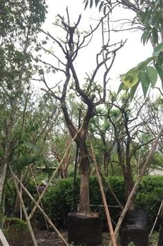 ต้นหมากเม่า ปิดการขาย