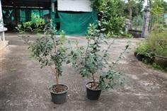 Feijoa - ฝรั่งสับปะรด - Pineapple Guava