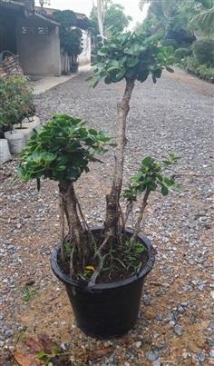 ต้นไทรช้อนเงินช้อนทองตอไทรเกาหลี