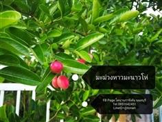 ต้นมะม่วงหาวมะนาวโห่