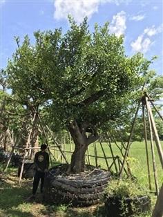ต้นมั่งมี No.2102