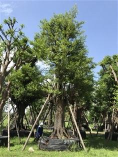 ต้นมั่งมี No.2389