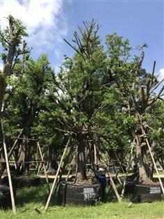 ต้นมั่งมี No.3107
