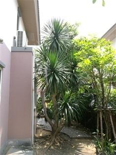 ขายต้นจันผาราคาถูกต้นใหญ่ทรงสวย พร้อมต้นสาละ