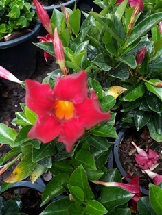 ต้นจันดารา - Rose Dipladenia (กทม)