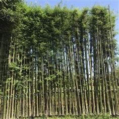 ขายต้นไผ่เลี้ยงสูง6เมตร