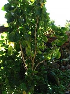 ต้นเล็บครุฑอังกา