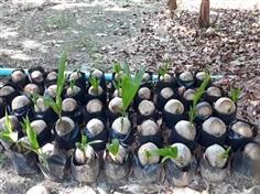 ขายต้นมะพร้าวน้ำหอม