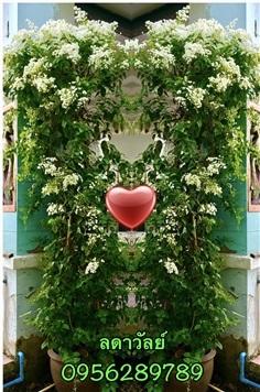 ต้นลดาวัลย์,ลัดดาวัลย์ ( ต้นโต กำลังติดช่อดอก )
