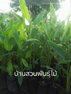 สาคูไทย