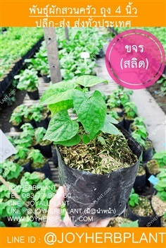 ต้นขจร (สลิด) และต้นผักสวนครัวขายปลีก-ส่งทั่วประเทศ