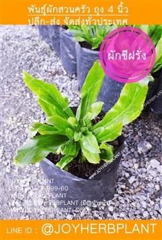 ต้นผักชีฝรั่ง (ผักชีใบเลื่อย)ปลีก-ส่ง จัดส่งทั่วประเทศ