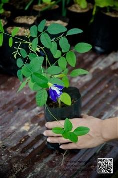 ต้นอัญชันดอกซ้อนสีน้ำเงิน