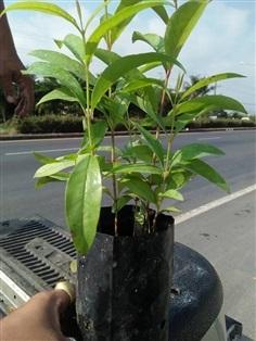 ต้นผักติ้ว ราคาต้นละ 75฿