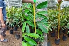 ต้นทุเรียนหมอนทองแท้เสียบยอด ความสูง 80-90cm.ต้นละ120