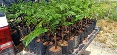 ต้นสะตอติดตา สายพันธุ์ข้าว ความสูง 30 cm. ต้นละ70 ฝักยาว