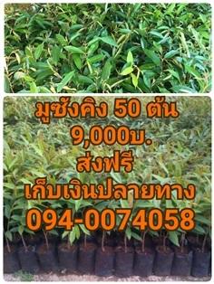 มูซังคิง 50 ต้น สูง 60-80 cm. 9,000 บาท ส่งฟรี