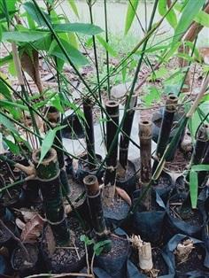 ต้นไผ่ดำติมอร์ ราคาต้นละ230บาท