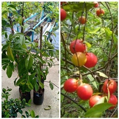 ต้นมะดันแดง 750 บาท