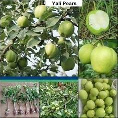 ลูกแพร พันธุ์ ยาลิ ( Yali Pears )กล้าละ 470 บาท