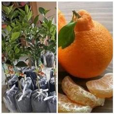 #ส้มเดโกปอง   ราคาต้นละ380บาท