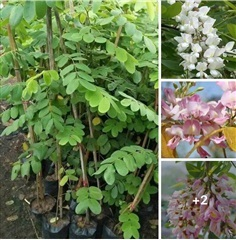 ต้นแคฝรั่งสีขาว สีชมพูต้นละ290บาท