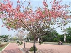 ซากุระ  เมืองไทย