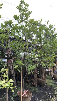 ต้นขนุนทองประเสริฐ