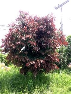 ต้นตะแบกแดง