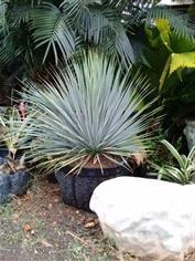 ยุคค่า (Yucca Rostrata)