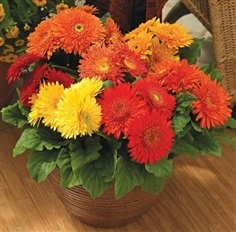 gerbera cartwheel autumn color mix seeds : เมล็ดเยอบีร่า
